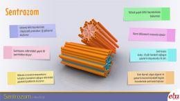 Sentrozom organelinin yapısı ve özellikleri anlatılmaktadır.