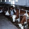 Sığır çiftliği