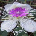 Osmaneli çiçekleri
