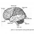 Psikoloji beyin ve loblar