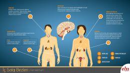 İnsan vücudunda bulunan iç salgı bezlerinin yerleri ve bu yapıların çalışma prensiplerini anlatan infografik çalışması.