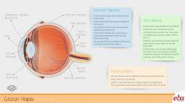 İnsan gözünün yapısı ve yapıların görevini anlatan infografik çalışması