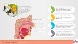 İnsan burnunun görevleri ve yapısı hakkında bilgi veren infografik çalışması.